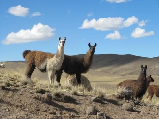 Circuit Pérou Trek Avec Des Lamas